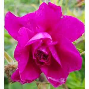 Roses - Pétales de Roses - 10g