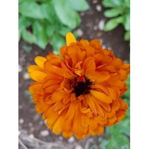 Ringelblumen - Calendula 15g