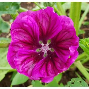 Malvenblüten 12g