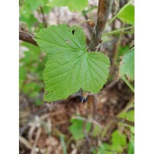 Cassis feuilles - 30g