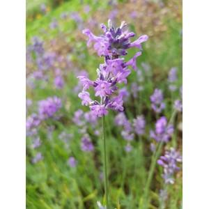 Lavendel-Öl * 100ml...